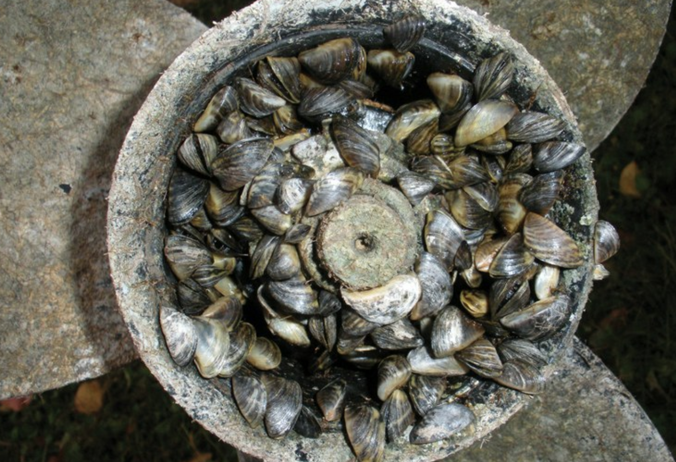 Photo by: Tom Britt/CC Flickr, zebra Mussels adhered to a boat propeller