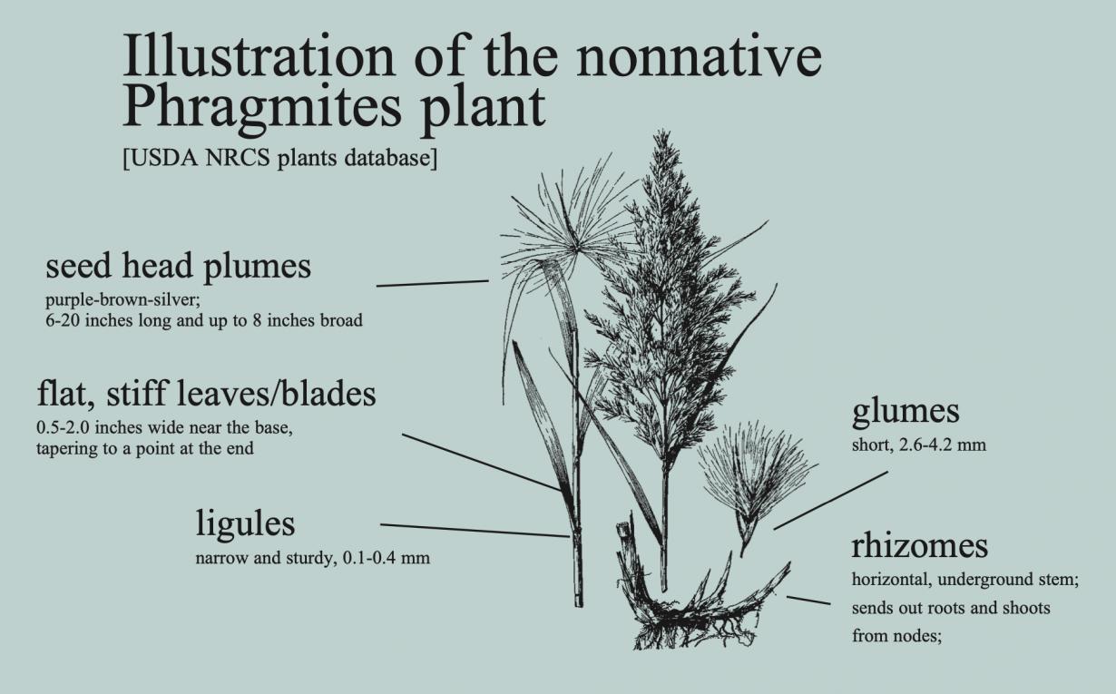 USDA NRCS Plants Database phragmites illustration